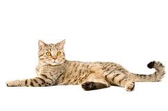 portrait-d-un-droit-écossais-de-chat-gracieux-46709657